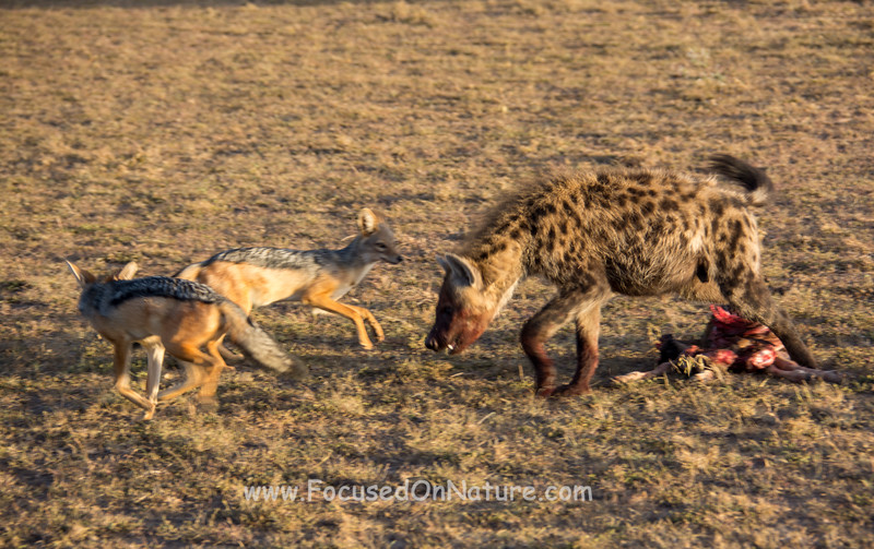 Hyena Fighting Off Jackals