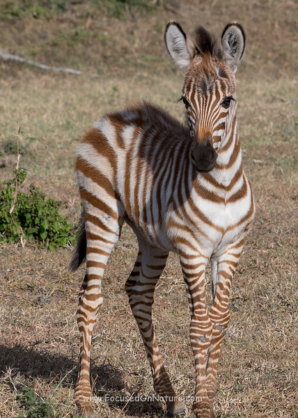 A Very Young Zebra