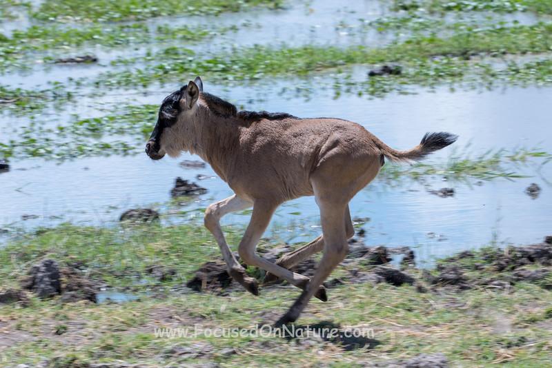 Frolicking Wildebeest Part 2