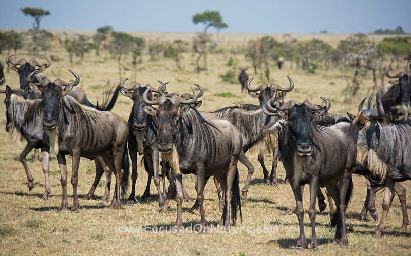 Wildebeest watching the Lions