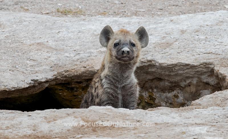 Hyena Peeking out