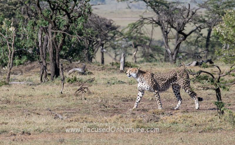 Mama Cheetah