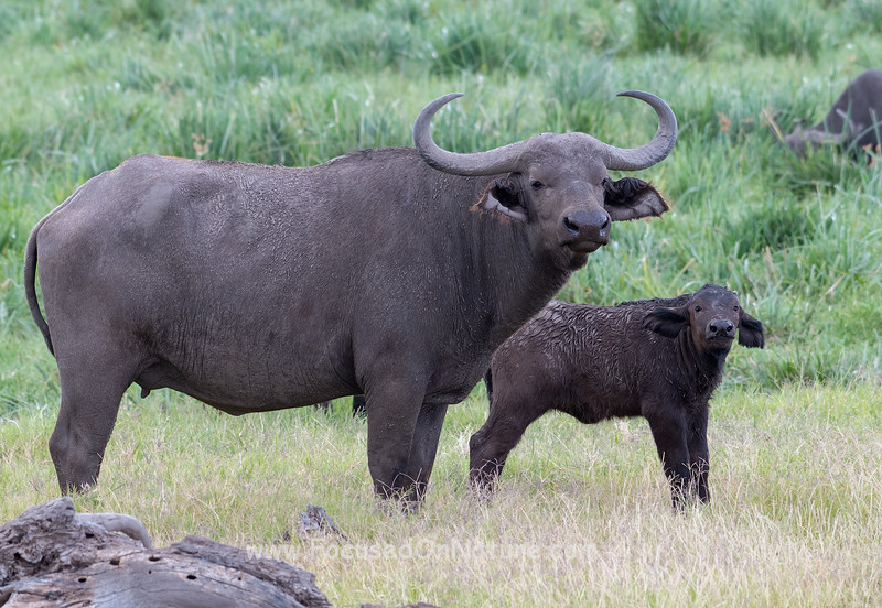African Buffalo with Baby