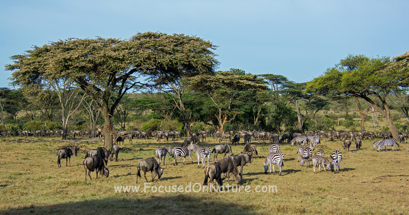 Zebras and Wildebeest Gathering
