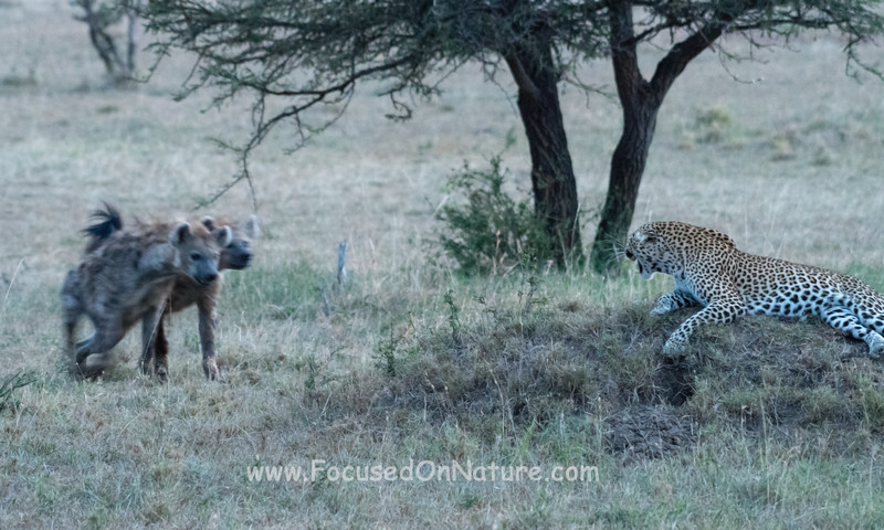 Curious Hyenas