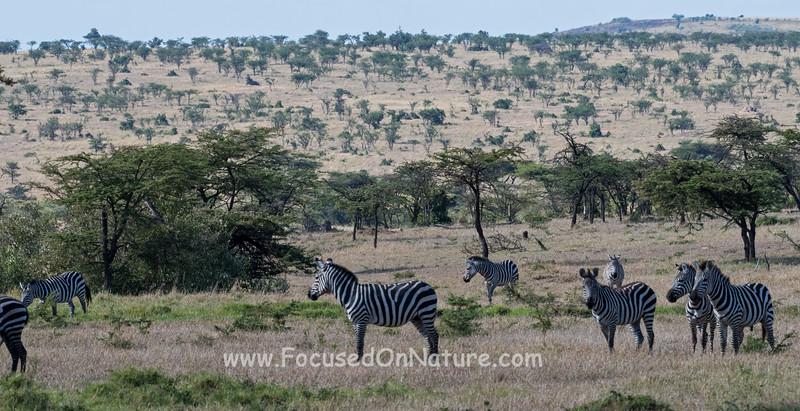Zebras Gathering