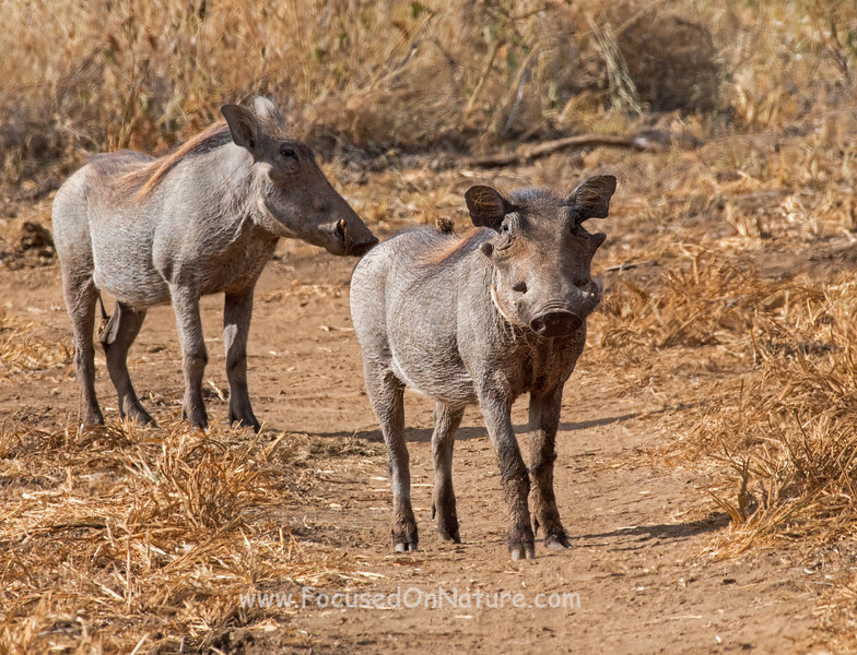 Common Warthogs with Blonde Highlights