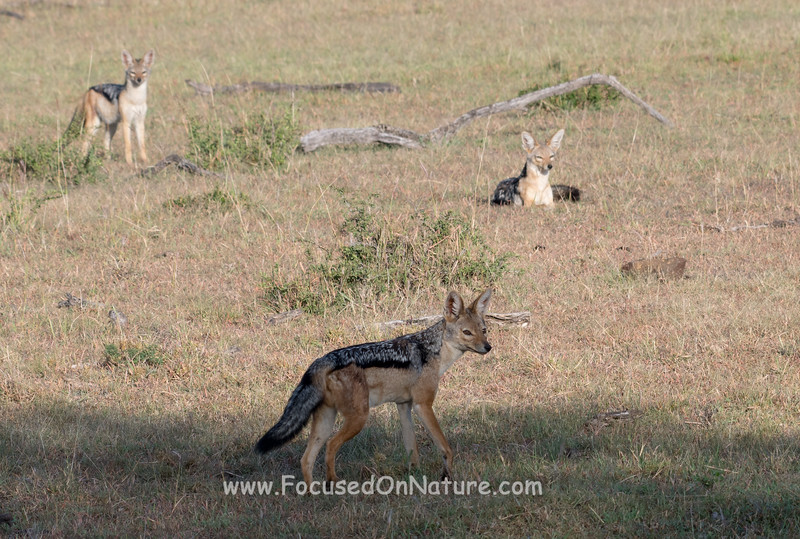 Jackals Also Waiting