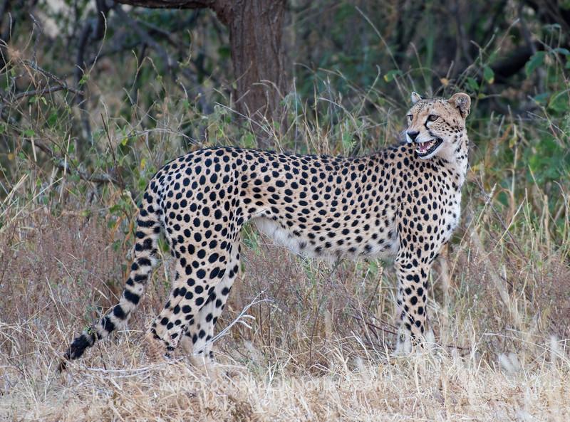 Cheetah Still Calling