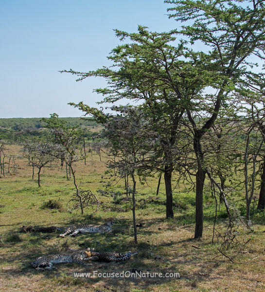 Cheetahs Finding Shade