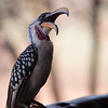 Eastern yellow-billed hornbill, Tockus flavirostris