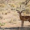 Male Impala, Aepyceros melampus