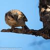 Donaldson Smith's sparrow weaver, Plocepasser donaldsoni
