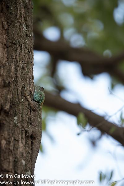 Blue headed tree agama, Acanthocercus atricollis