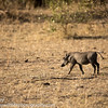 Common warthog, Phacochoerus africanus