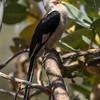 Male Von der Decken's hornbill, Tockus deckeni
