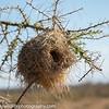 Donaldson Smith's sparrow weaver (Plocepasser donaldsoni) nest