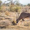 East African oryx, Oryx beisa
