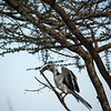 Northern red-billed hornbill,  Tockus erythrorhynchus
