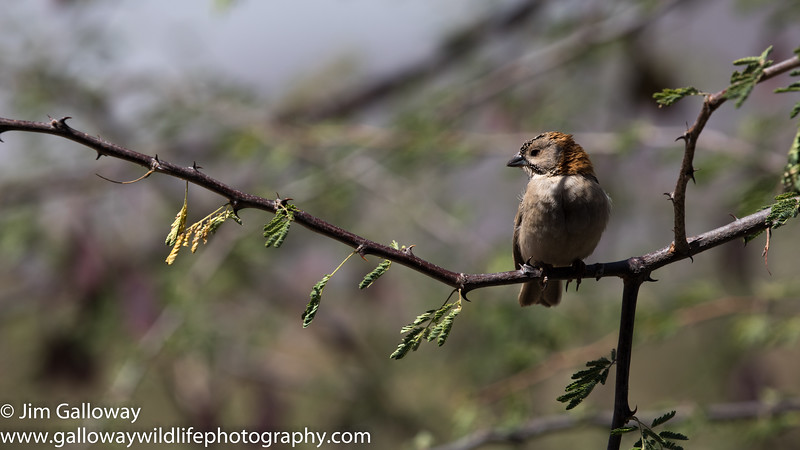 Speckle-fronted weaver, Sporopipes frontalis