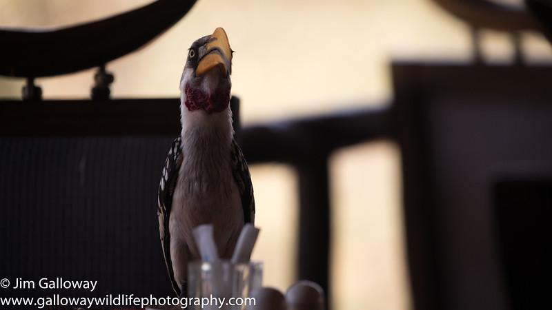 Eastern yellow-billed hornbill, Tockus flavirostris