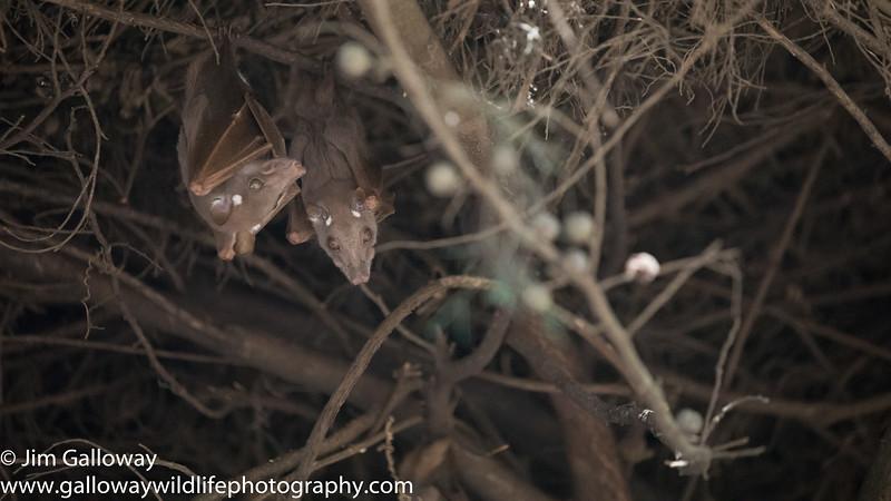 Wahlberg's epauletted fruit bat, Epomophorus wahlbergi