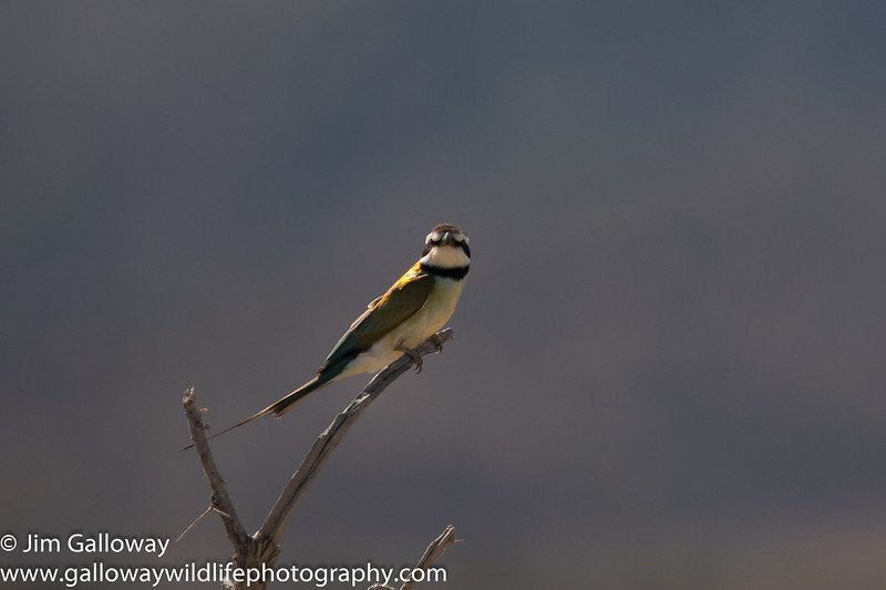 White-throated bee-eater, Merops albicollis