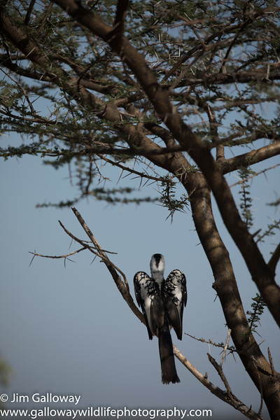 Northern red-billed hornbill,  Tockus erythrorhynchus