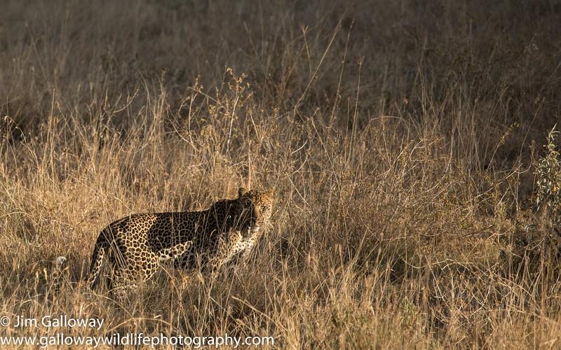 Leopard, Panthera pardus