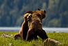 Grizzly Bear hugs /