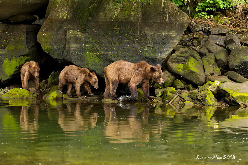 Grizzly Bear family .