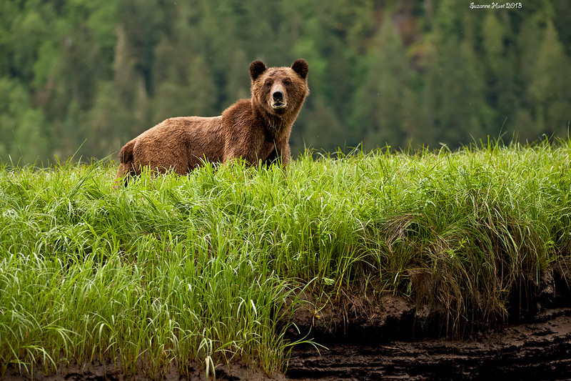 Grizzly Bear  on island of Sedge Grass ,photographed from a zodiac at low tide.