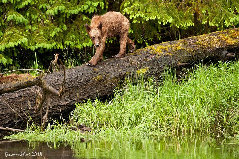 Grizzly Bear cub .