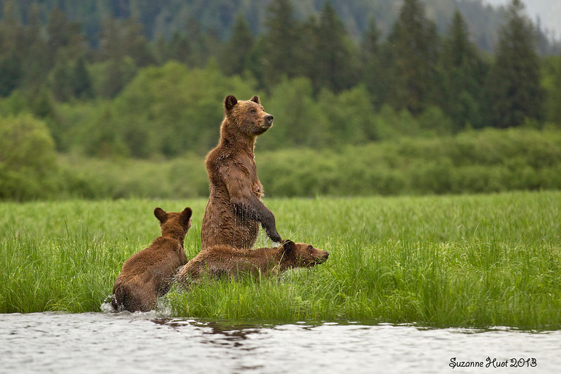 Grizzly Bear family on the alert.