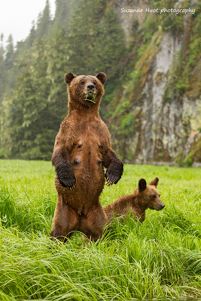 Grizzly Mother on guard