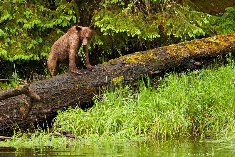 Little Bear with a big mouthfull as he climbs over the log to catch up with Mom.