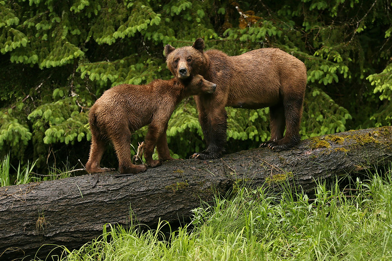Grizzly mom  with cub