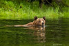 Grizzly crossing the creek.