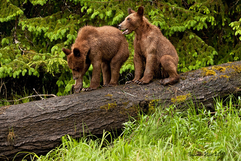 Two year old Grizzly Bear cubs .