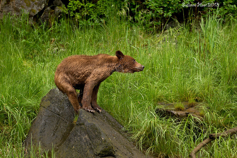 Wet Grizzly Bear cub.
