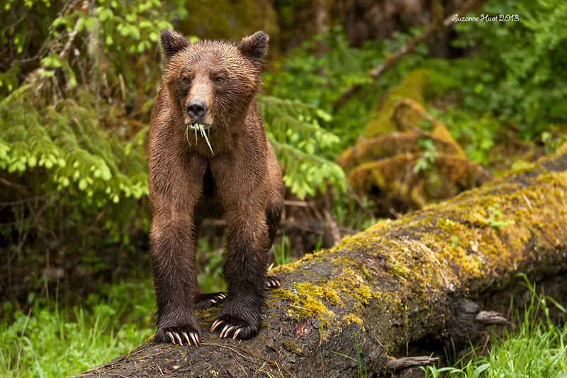 Sow Bear on the lookout .