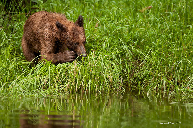 It is amazing to watch the bears use their paws as hands to gather then guide the Sedge grass to their mouths..