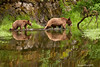 Grizzly Bear reflections.