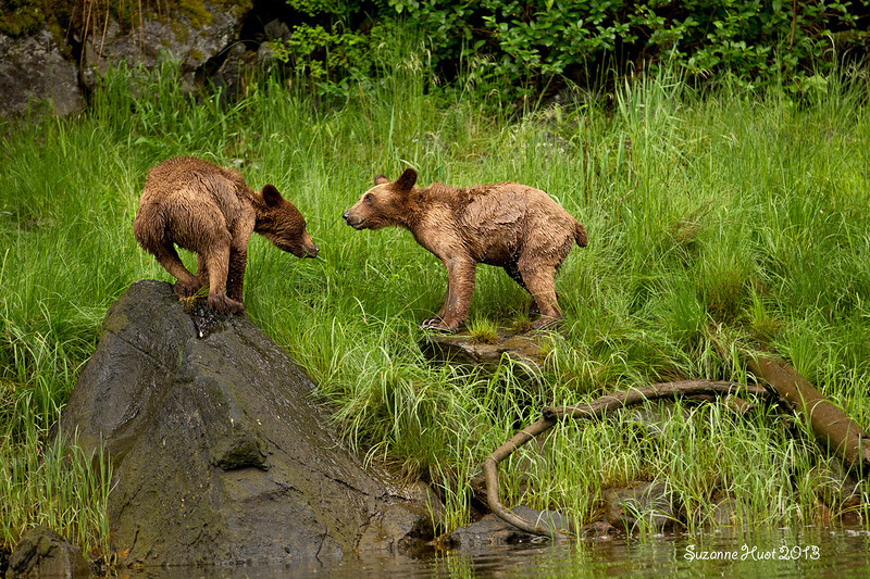 Grizzly cubs shaking off the water after one of their swims across the creek.