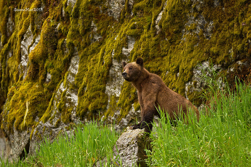 Grizzly Bear sow on the alert.