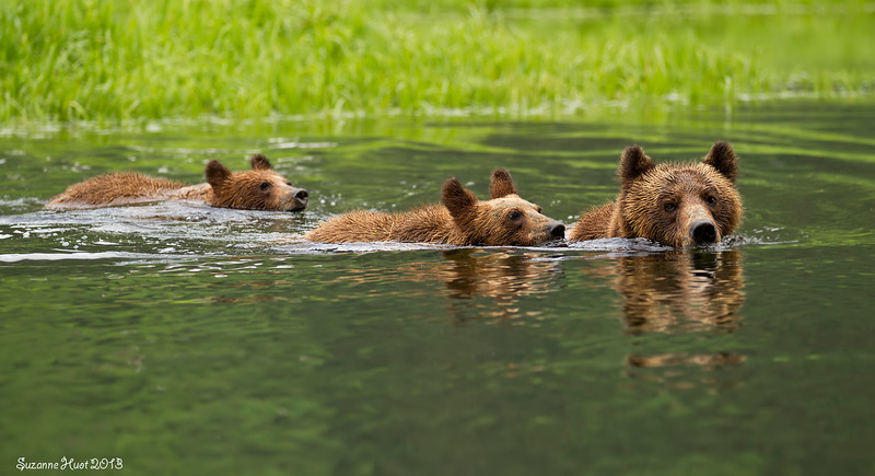 Grizzly Bear Family swimming across the creek.