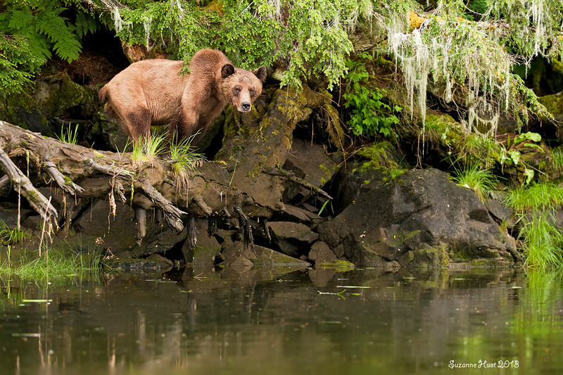 Sow Bear descending down from the cliffs and checking out the creek to see if all is clear before her cubs follow her down,