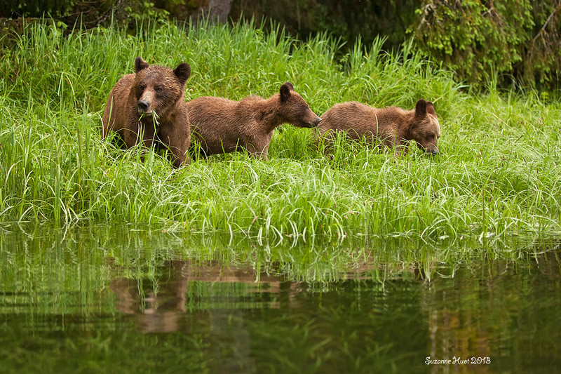 Mother Grizzly will eat up to 100 lbs of protein rich Sedge Grass daily after she emerges from hibernation.The cubs are now 2 years old and also bulking up on the grass beside their mother as well ..