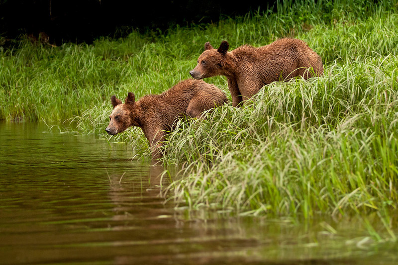 The cub are deciding  whether they should cross the creek again.