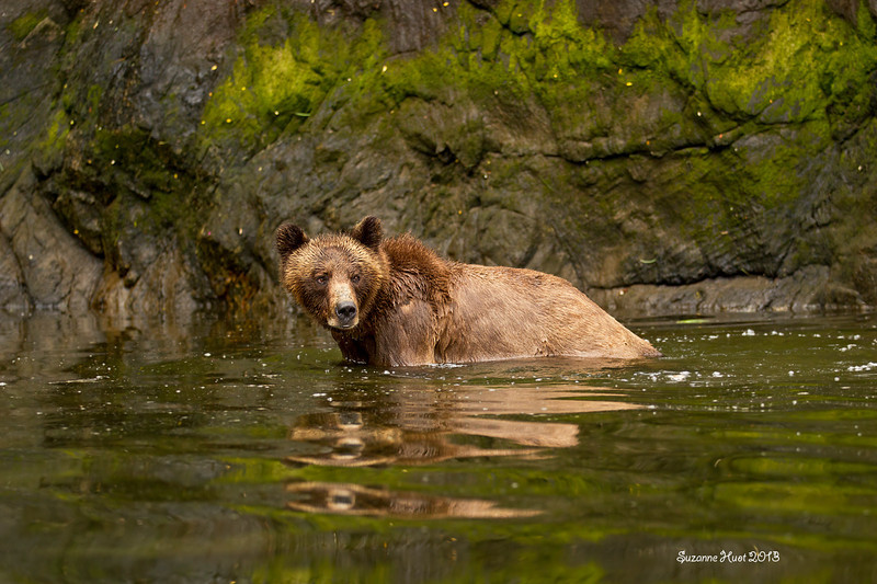 Grizzly Bear enjoying a dip.